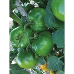 Tynton round tomato seeds