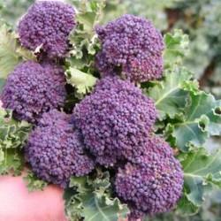 """Getto viola"" broccoletto seeds"